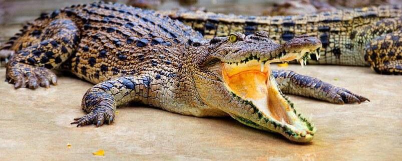 krokodilovaja-ferma-v-pattaje-8