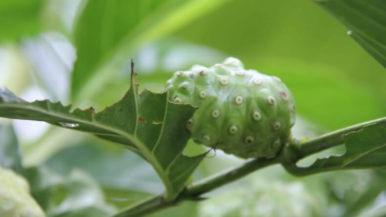 Плоды дерева Нони в Тайланде