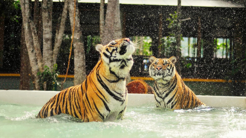 Парк тигров на Пхукете