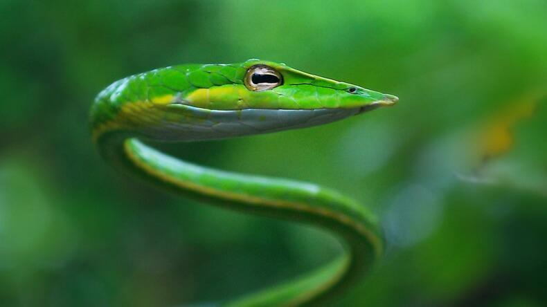 Зеленая плетеевидка в Тайланде