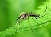 Комары в Тайланде