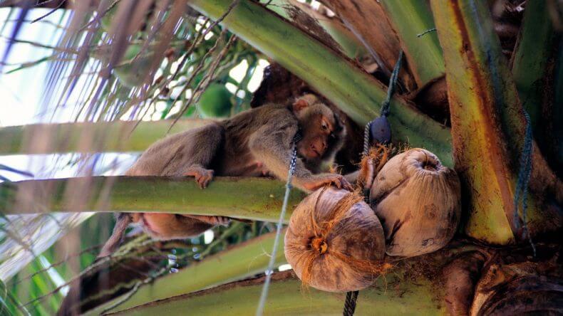 Школа для обезьян в Тайланде