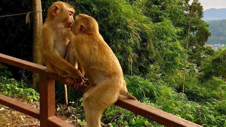 Гора обезьян Monkey Hill на Пхукете