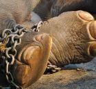 Как приручают слонов в Тайланде