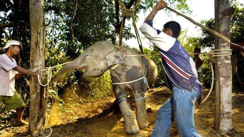 Церемониея Фаджана (The Phajaan Ceremony) - разрушение духа слона