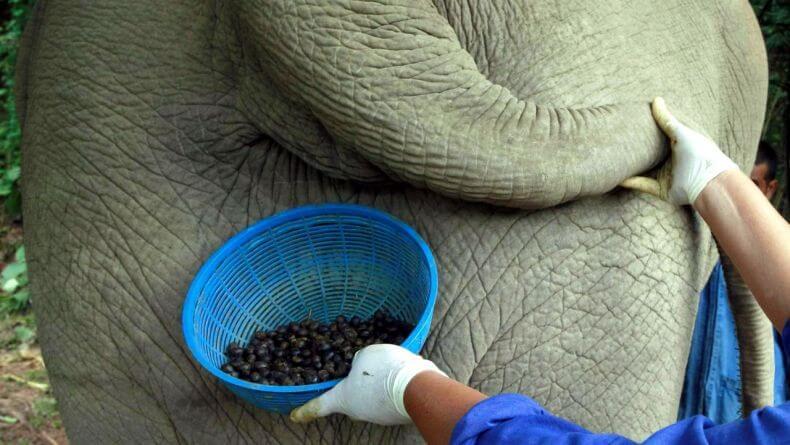Производство кофе Black Ivory из слоновьего помета в Тайланде