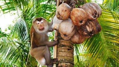 Шоу с обезьянами в сафари-парке Намуанг на Самуи