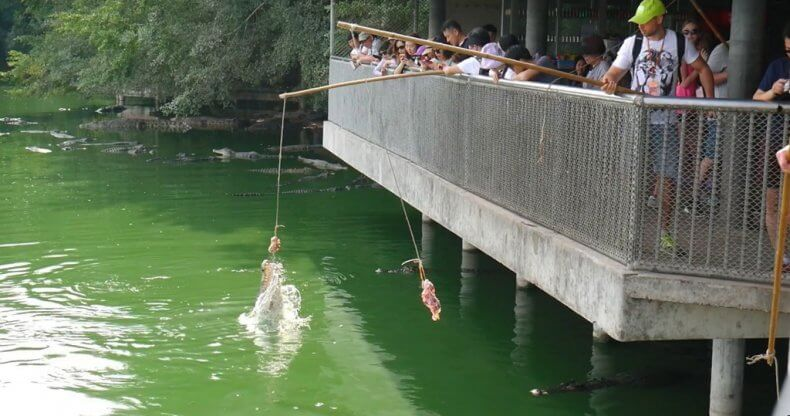 Кормление крокодилов в Тайланде
