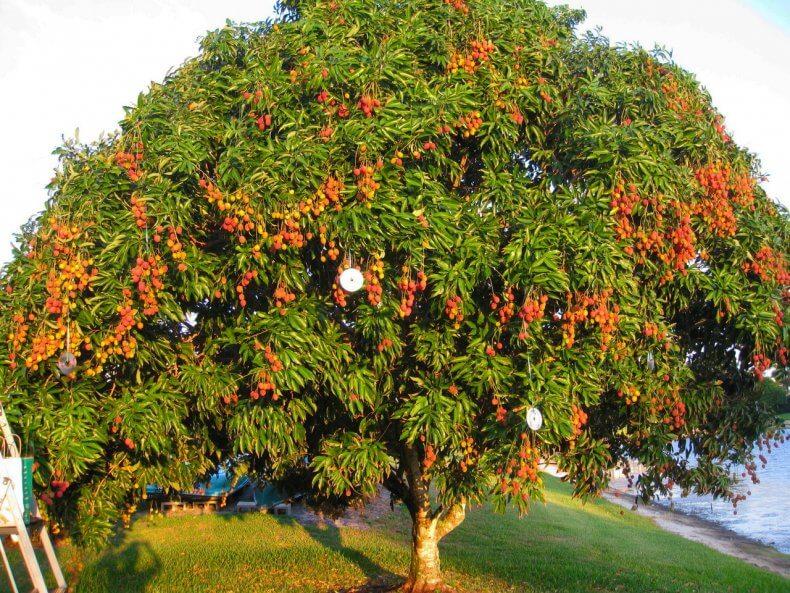 Дерево личи в Тайланде